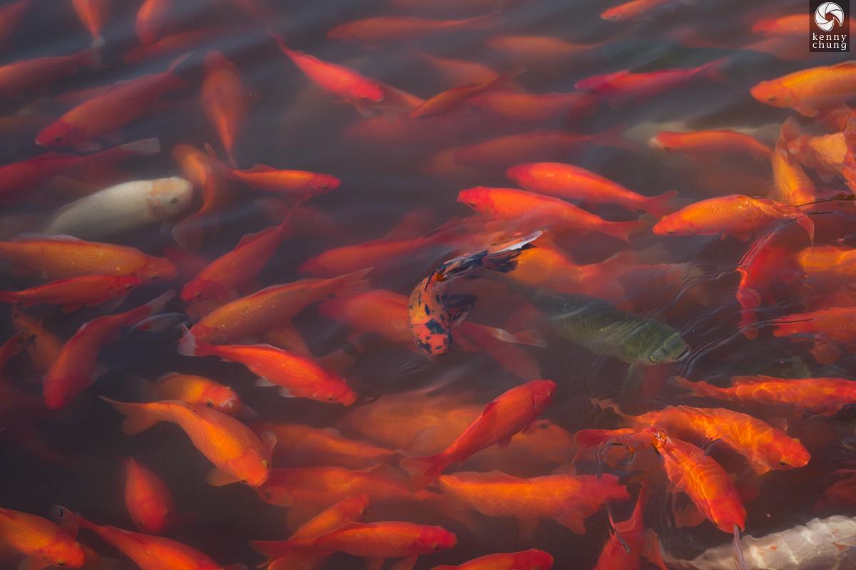Goldfish pond in Hangzhou