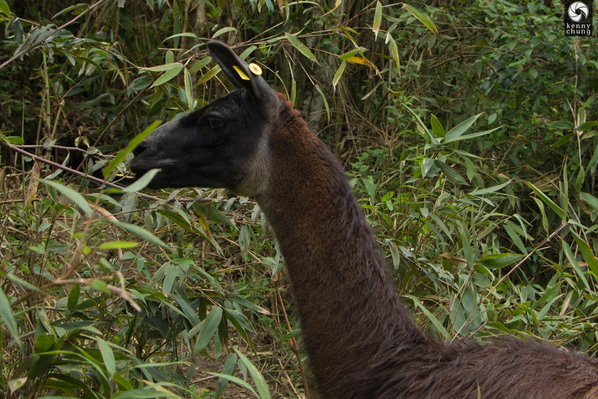 An alpaca eating leaves at Machu Picchu
