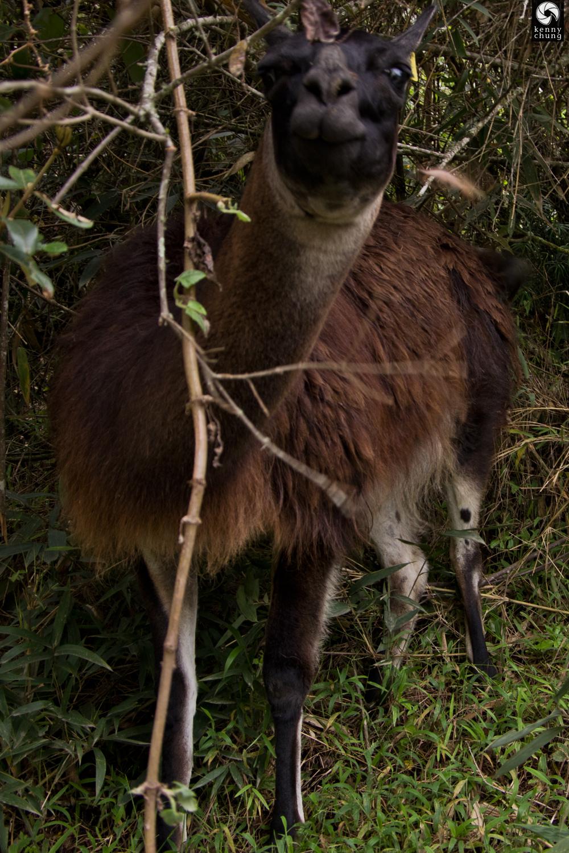 Sassy alpaca at Machu Picchu