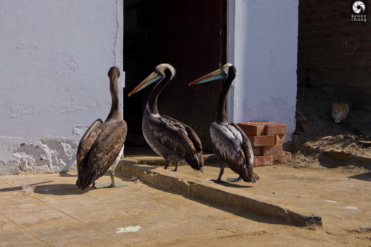 Peruvian pelicans waiting outside of a restaurant in Paracas