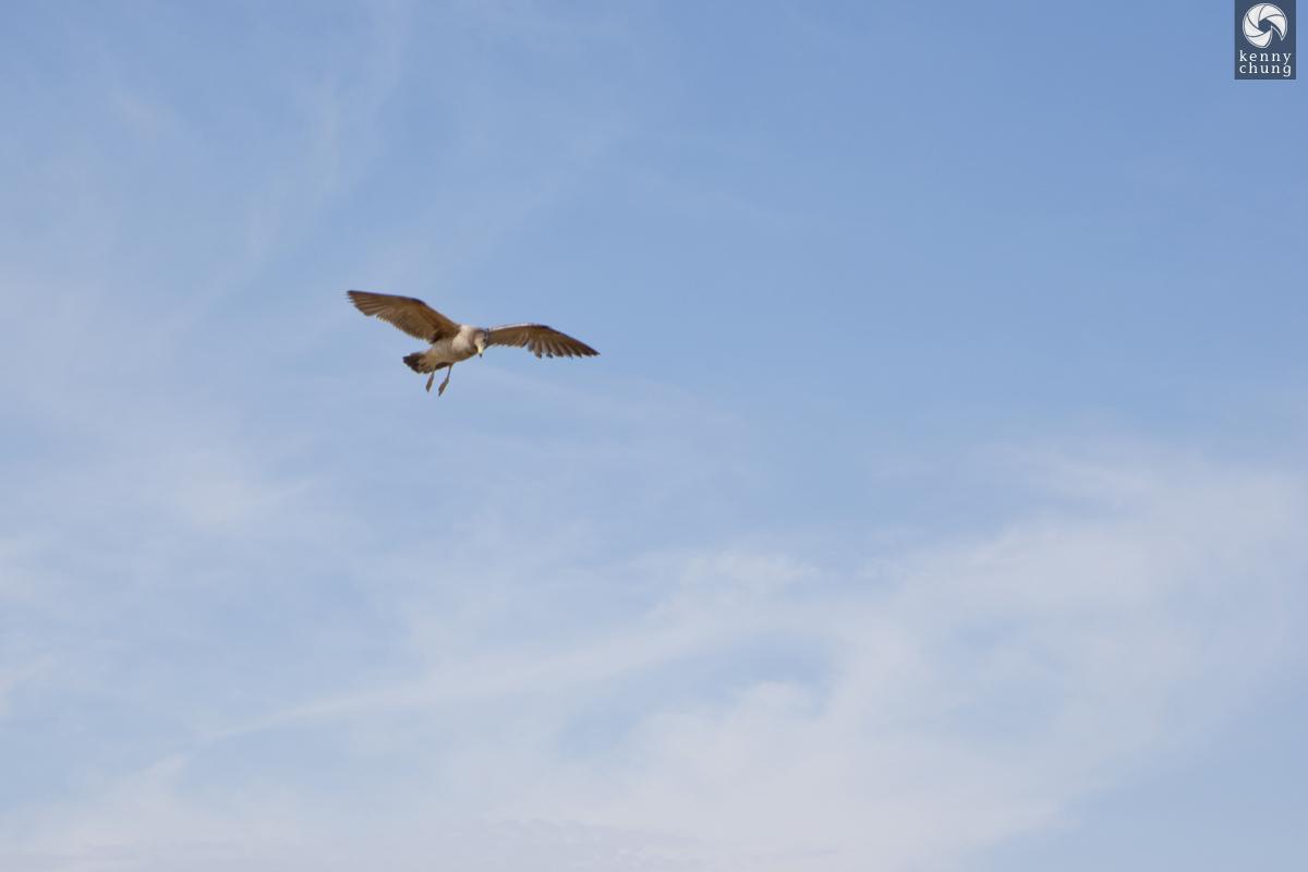 Bird in the sky in Paracas, Peru