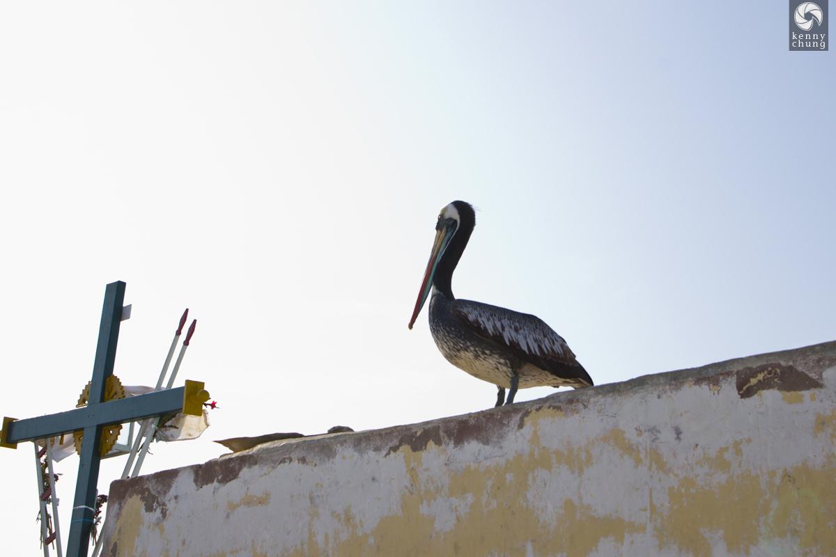 Peruvian pelican watching the fishermen in Paracas